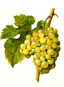 Muscat de Saumur white grape variety from Ampelographie Traite general de Viticulture 1903 with painting by A Kreyder and E.J. Troncy